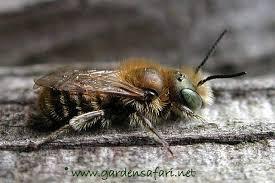 blue mason bee