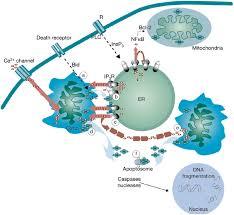 calcium cell