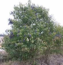 privet shrub