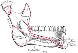 anatomy jaw