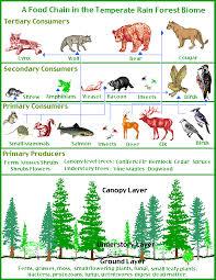 mountain lion food chain
