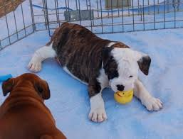 bull boxer puppies