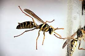 wasp flying