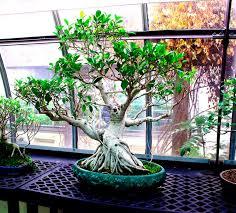 bonsai tree pics
