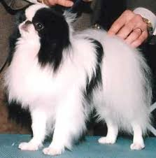 japanese chins dogs