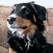 collie mix puppies
