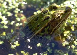 leopard frog picture