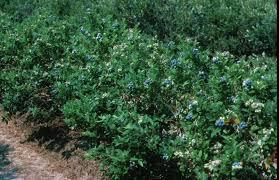 highbush blueberries