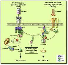 caspase 8 activation