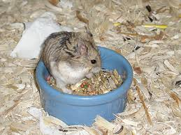dwarf campbell russian hamsters