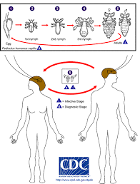 lice cycle