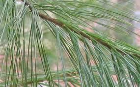 eastern white pine trees