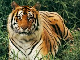 bengal tiger extinction