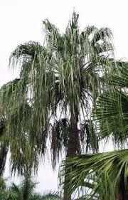ribbon fan palm