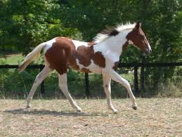 pinto horse picture