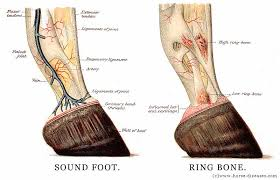 anatomy of horse hoof