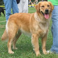 golden retrievers dogs