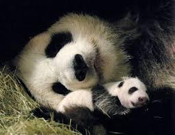 giant panda babies