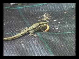 feeding lizard