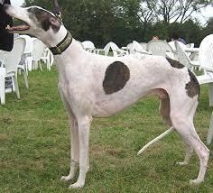 greyhound photos