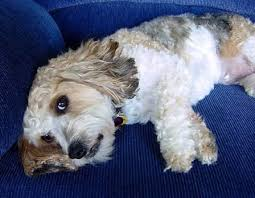 poodle and terrier mix