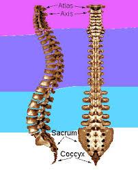 human skeleton spine