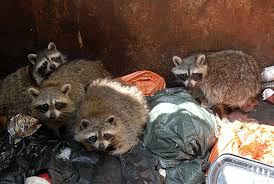 raccoon garbage