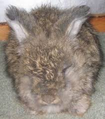 angora bunnies for sale