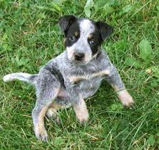 miniature australian cattle dog