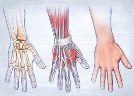 anatomy of the hand tendons