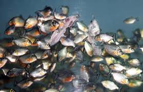 feeding piranha