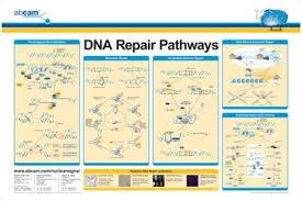dna damage pathway