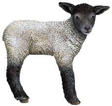 lamb pics