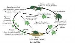 ciclo de vida de la tortuga