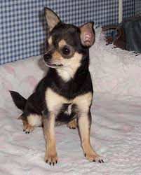 black chihuahua puppies for sale