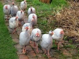 guinea fowl farm