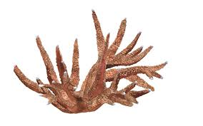 acropora staghorn
