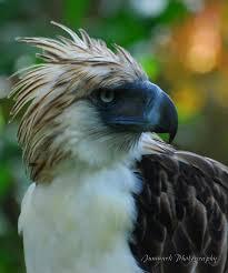 philippine eagle picture