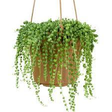 bead plant