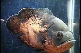 freshwater oscar