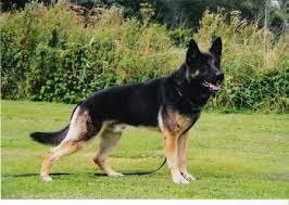 belgium dogs