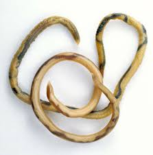 pictures of roundworm