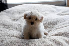 fluffy little dogs