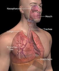 labeled respiratory system