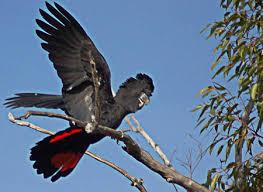 endangered australian birds