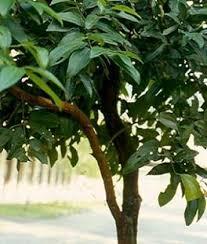 cinnamon tree pictures