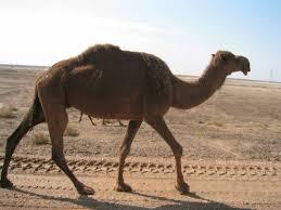 صور جمل من ملك روحي  CAMEL.sized