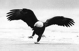 eagle dancing