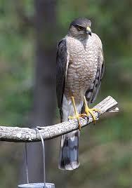 hawks pictures