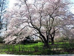 cherry tree picture